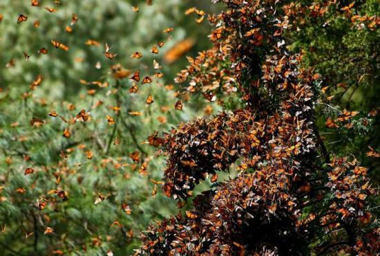 monarchs-in-mexico.jpg